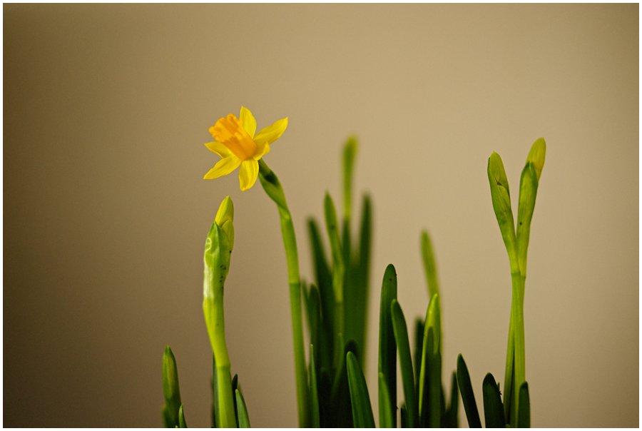 Wedding Daffodil